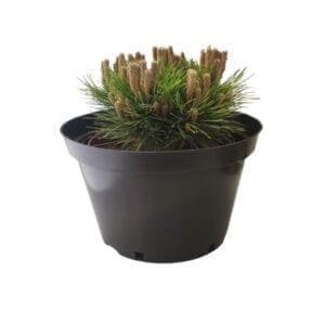 krzewy iglaste- sosna czarna 2