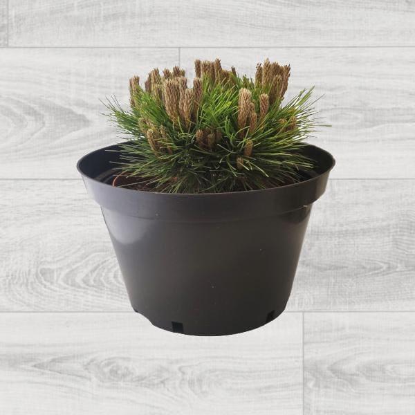 krzewy iglaste- sosna czarna