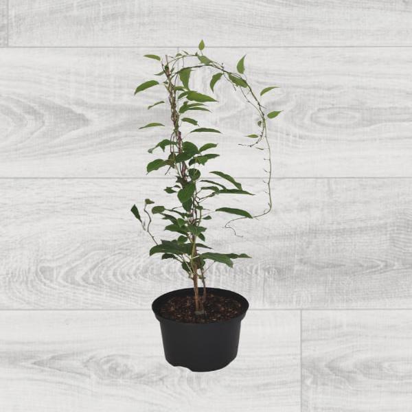 Rośliny ogrodowe- 610059