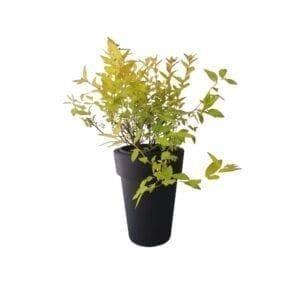krzewy liściaste- tawuła 5
