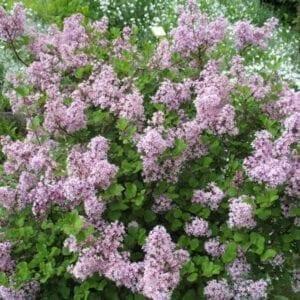 Krzewy liściaste- 25
