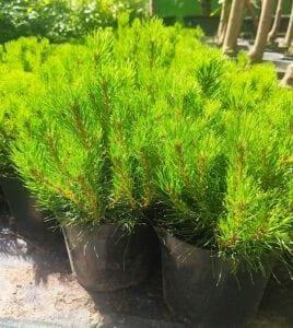 krzewy iglaste-sosna pumilio