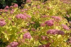Krzewy liściaste- tawuła 4