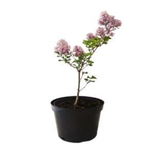 krzewy liściaste -26
