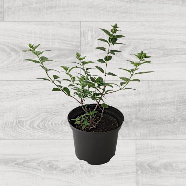 rośliny ogrodowe- 100741
