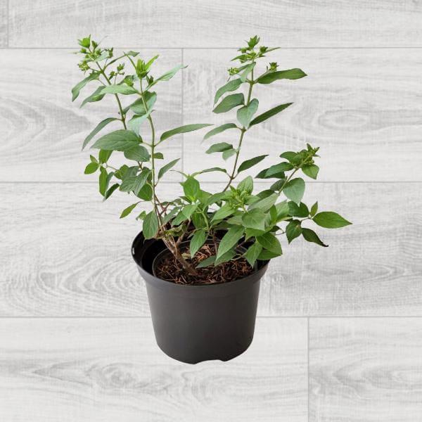 Rośliny ogrodowe- 100742