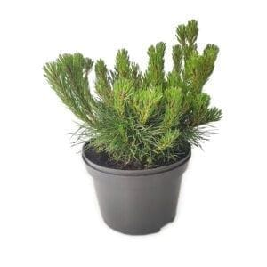 rośliny iglaste- sosna górska