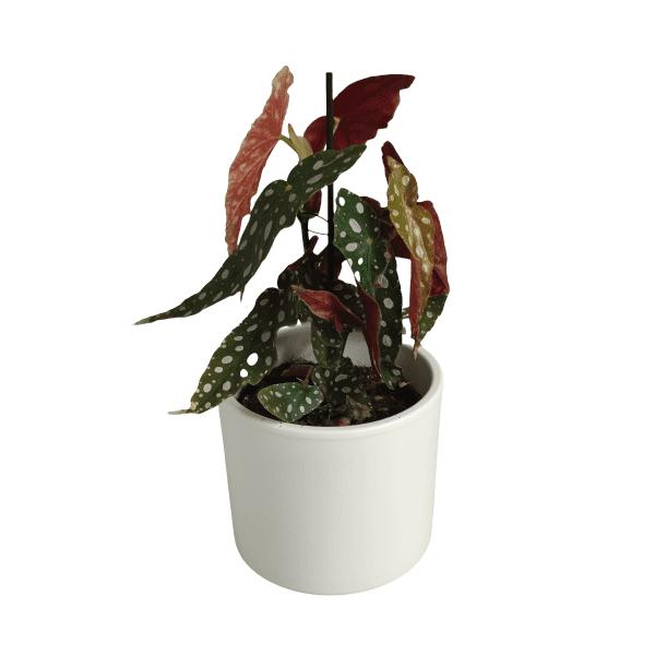 Rośliny domowe- 630229