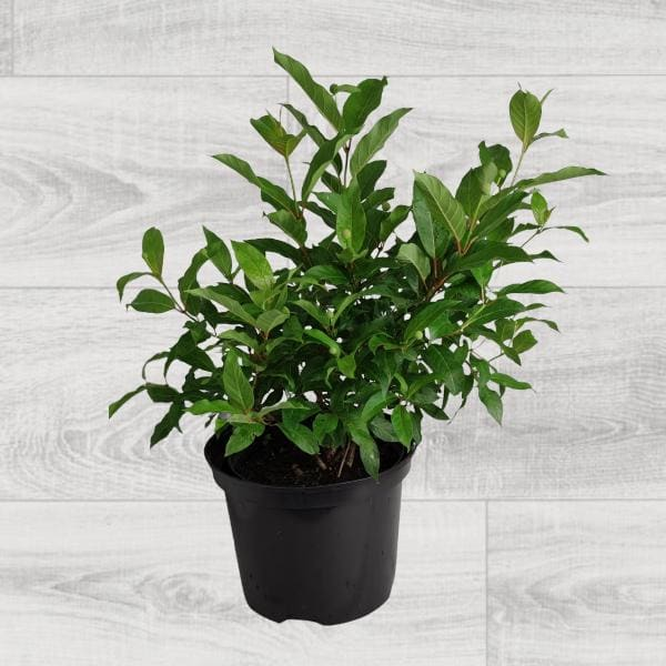 krzewy liściaste- 100459 1