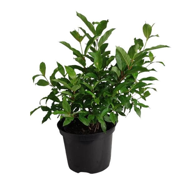 krzewy liściaste- 100459