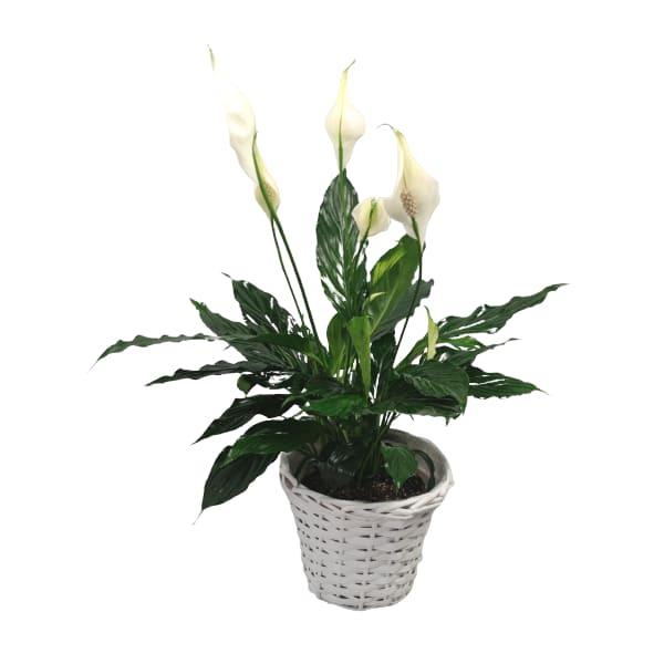 rośliny domowe- skrzydłokwiat